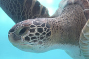 Green Sea Turtle Photos - Sea Turtle by Stephanie Lanoue