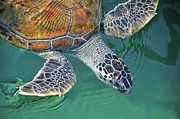 Wild Metal Prints - Sea Turtle Metal Print by Thank you.