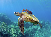 Tropical Fish Posters - Sea Turtle Underwater Poster by M.M. Sweet
