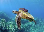 Sea Turtle Underwater Print by M.M. Sweet