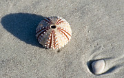 Beach Scenery Metal Prints - Sea Urchin and Shell Metal Print by Kenneth Albin