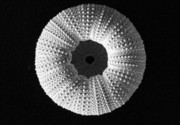 Mary Deal Photos - Sea Urchin in Black and White by Mary Deal