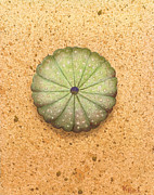 Limited Edition Paintings - Sea Urchin by Katherine Young-Beck