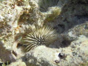Echinoderm Photos - Sea Urchin by Michael Peychich