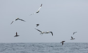 Sea Birds Posters - Seabirds in Flight Poster by Louise Heusinkveld