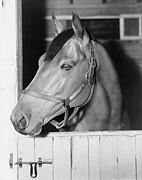 Sports Portraits Posters - Seabiscuit 1933-1947, In His Stall Poster by Everett