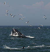 Humpback Prints - Seafood feeding frenzy.. Print by Nina Stavlund