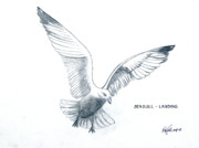 Pencil Drawings By Frederic Kohli - Seagull - Landing by Frederic Kohli