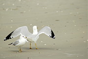 Beach Scenes Photos - Seagull and Seagull by Kathy Gibbons