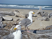 Seagull Bird Art Prints Coastal Beach Bandon Print by Baslee Troutman Bird Art Prints