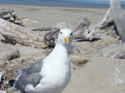 Seagull Photo Metal Prints - Seagull Bird art prints Coastal Beach Driftwood Metal Print by Baslee Troutman Fine Art Photography