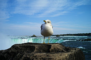 Niagara Falls Posters - Seagull Checking Out The Photographers Poster by Lawrence Christopher