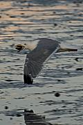 Flying Seagull Art - Seagull Cracking open a Clam by Gene Sizemore