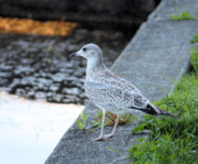 Preditor Photos - Seagull by Denise Jenks