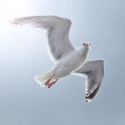 Flying Seagull Art - Seagull by Diegorivera