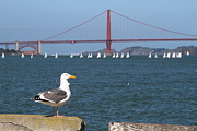 Boat Prints - Seagull Enjoying The Sailboats On The San Francisco Bay . 7D14041 Print by Wingsdomain Art and Photography