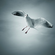 Square Tapestries Textiles - Seagull Flying by Arnaud Bertrande Photographie