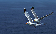 Seagull Metal Prints - Seagull flying competition Metal Print by Michael Mogensen