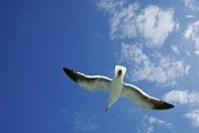 Flying Seagull Framed Prints - Seagull flying in the sky on blue sky Framed Print by Sami Sarkis
