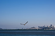 Lone Gull Posters - Seagull Flying Over San Francisco Bay Poster by David Buffington