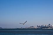Seagull Flying Over San Francisco Bay Print by David Buffington