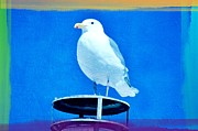Sea Birds Posters - Seagull Fun Colors Poster by Debra  Miller