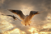 Flying Wild Bird Prints - Seagull Print by GilG Photographie