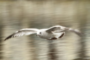 Feathered Photos - Seagull Glide by Karol  Livote