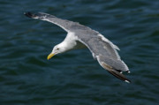 Flying Seagull Framed Prints - Seagull  in Flight Framed Print by Randall Ingalls