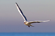 Wings Photos - Seagull In Flight by Wilson Santinelli
