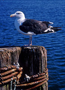 Get Away Photos - Seagull by John Greim