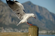 Flying Seagull Framed Prints - Seagull landing on pole Framed Print by Sami Sarkis