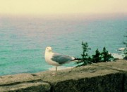 Perched Mixed Media Posters - Seagull on Stone Wall Poster by Desiree Paquette