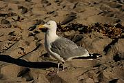 New Hampshire Pyrography Posters - Seagull on the Beach Poster by Robert Morin