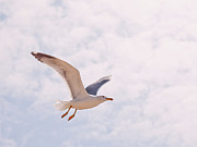 Flying Seagull Art - Seagull by Photos by Carol