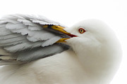 Pruning Framed Prints - Seagull Pruning his Feathers Framed Print by Keith Allen
