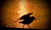 Photography Birds - Seagull Silhouette by Steven Natanson