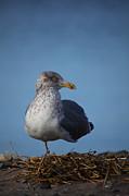 Karol  Livote - Seagull Stance