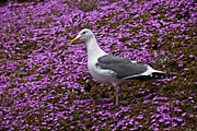 Gulls Prints - Seagull standing among flowers Print by Garry Gay