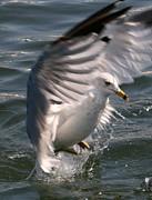 Seagull Print by Valia Bradshaw