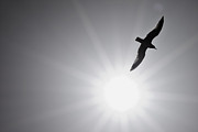 Flying Seagull Framed Prints - Seagull Wing Touches the Sun Framed Print by Jeramie Curtice