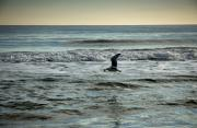 Hamptons Photo Prints - Seagull with Starfish  Print by Rosemary Hawkins