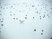 In The Fog Photo Posters - Seagulls And Ducks At Lake Constance Poster by Rolfo