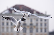 Nymphenburg Framed Prints - Seagulls at Nymphenburg Palace Framed Print by Andrew  Michael