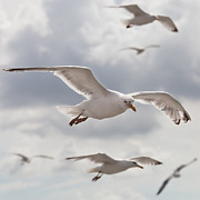 Flying Seagull Art - Seagulls by Diegorivera