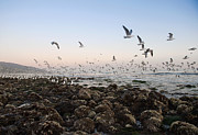 Flock Of Bird Art - Seagulls Flying Over Rocky Beach by Markus Henttonen