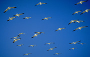 Formation Flying Posters - Seagulls going south Poster by Michael Mogensen