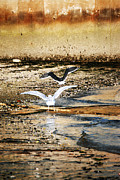 Flying Seagulls Framed Prints - Seagulls Framed Print by HD Connelly