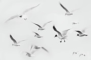 Black And White Birds Framed Prints - Seagulls Framed Print by K.Arran - photomuso