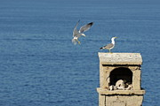 Flying Seagull Prints - Seagulls landing on wall overlooking sea Print by Sami Sarkis